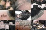 schwein_pigs